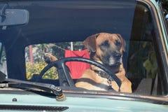 Os passeios do cão no carro Fotos de Stock Royalty Free