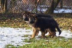 Os pastores alemães estão correndo no jardim na neve Fotos de Stock Royalty Free