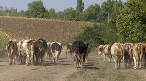 Os pastores conduzem em casa do pasto a um rebanho das vacas ao longo de uma estrada secundária empoeirada fotografia de stock royalty free