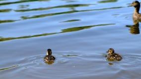 Os patinhos macios mergulham minaram wildlife Lago forest, temporada de verão video estoque