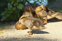 Os patos Fotografia de Stock