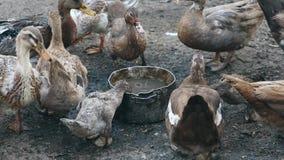 Os patos bebem a água em uma exploração agrícola do pássaro Negócio que cultiva o conceito filme