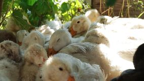 Os patos brancos descansam no gramado da grama na sombra filme