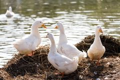 Os patos brancos estão ao lado de uma lagoa ou de um lago com fundo do bokeh Fotografia de Stock