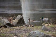 Os patos caçam para os peixes entre o lírio fotografia de stock royalty free