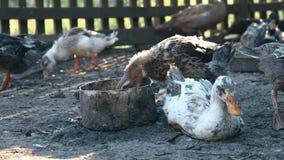 Os patos comem o milho em uma exploração agrícola do pássaro Patos domésticos de alimentação na exploração agrícola de China Negó vídeos de arquivo