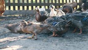 Os patos comem o milho em uma exploração agrícola do pássaro Negócio que cultiva o conceito filme