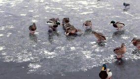 Os patos correm no gelo da lagoa congelada, do deslizamento e do chape vídeos de arquivo