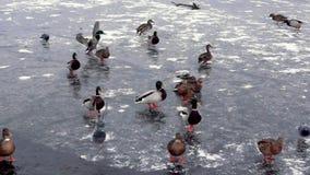 Os patos correm no gelo da lagoa congelada, do deslizamento e do chape video estoque