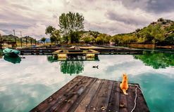 Os patos de observação do gato amarelo vão pela piscicultura em Karuc, Skadar Fotografia de Stock