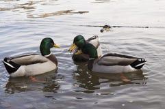 Os patos de Vltava Imagens de Stock Royalty Free