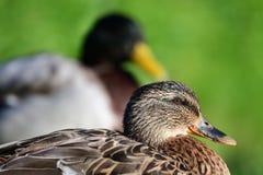 Os patos do pato selvagem fecham-se acima Imagem de Stock