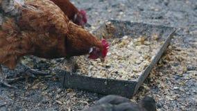 Os patos e as galinhas comem o milho em uma exploração agrícola do pássaro Patos e galinhas domésticos de alimentação na exploraç video estoque