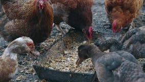 Os patos e as galinhas comem o milho em uma exploração agrícola do pássaro Patos e galinhas domésticos de alimentação na exploraç vídeos de arquivo