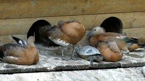 Os patos e as tartarugas de Brown dormem junto em um banco do lago no slo-mo video estoque
