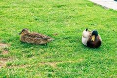 Os patos em uma cidade estacionam em Solin, Croácia, apreciando pela água Foto de Stock