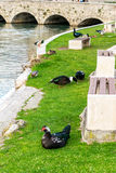 Os patos em uma cidade estacionam em Solin, Croácia, apreciando pela água Imagens de Stock