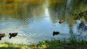Os patos estão nadando em um lago do verão no parque filme