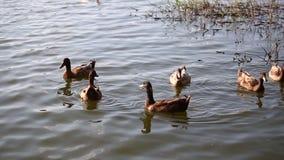 Os patos estão nadando na lagoa no parque filme