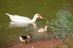 Os patos flutuam na água Imagens de Stock Royalty Free