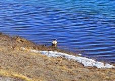 Os patos migrat?rios do pato selvagem selvagem pararam para descansar no banco de rio Sib?ria do leste, o rio de Angara lat Platy fotos de stock royalty free