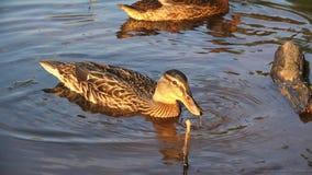 Os patos nadam perto do alimento de espera da costa video estoque
