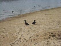 Os patos no homem fizeram o lago de negligência da praia foto de stock