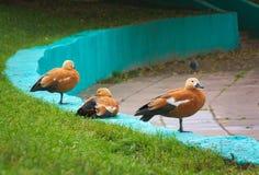 Os patos, pássaros, patos vermelhos, Moscou ducks, três patos, patos pelo Imagens de Stock