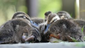 Os patos selvagens do bebê estão dormindo filme