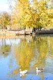 Os patos selvagens sem medo e os gansos deslizam graciosamente as águas Fotografia de Stock Royalty Free