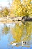 Os patos selvagens sem medo e os gansos deslizam graciosamente as águas Fotografia de Stock