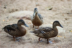 Os patos vão na areia Fotos de Stock