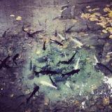 Os peixes Imagens de Stock