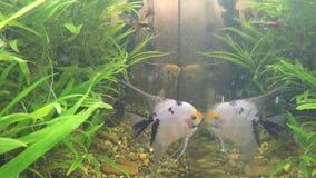 Os peixes comem sem-fins em um aquário home filme