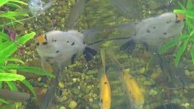 Os peixes comem sem-fins em um aquário home vídeos de arquivo