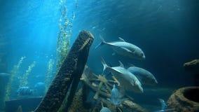 Os peixes de atum nadam na água azul perto do naufrágio velho do ` s do navio, peixes vida no mar azul, oceano sob a água, escola video estoque