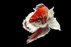 Os peixes de Betta, capturam o momento movente de peixes de combate siamese Imagem de Stock