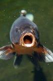 Os peixes de Coi abrem a boca Fotos de Stock Royalty Free