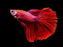Os peixes de combate vermelhos macro de Sião estão nadando Fotografia de Stock