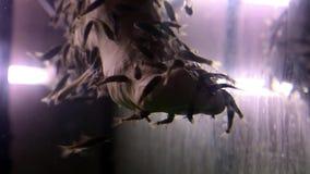 Os peixes de Garra Rufa limpam a epiderme dos pés video estoque