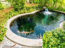 Os peixes de Koi no koi pond no jardim Imagem de Stock Royalty Free