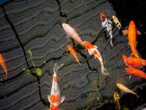 Os peixes de Koi no koi pond no jardim Imagem de Stock