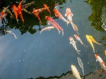 Os peixes de Koi no koi pond no jardim Fotos de Stock