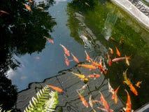 Os peixes de Koi no koi pond no jardim Fotografia de Stock