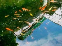 Os peixes de Koi no koi pond no jardim Fotos de Stock Royalty Free
