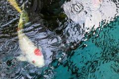 Os peixes de Koi são cultivados nas lagoas Imagens de Stock Royalty Free