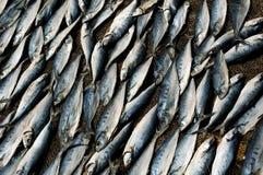 Os peixes de mar secaram na praia do mar. Fotografia de Stock