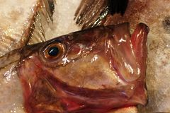 Os peixes de St Peter Imagens de Stock