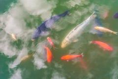 Os peixes decorativos coloridos e as nuvens água-refletidas flutuam em uma lagoa artificial, vista superior Fotografia de Stock Royalty Free
