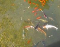 Os peixes decorativos coloridos flutuam em uma lagoa artificial Imagem de Stock Royalty Free